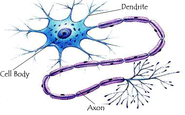 ������������������� nerve cell �������� neuron